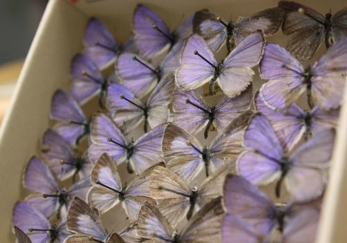 The UA Insect Collection contains species of beetles, butterflies, mayflies and other insects.