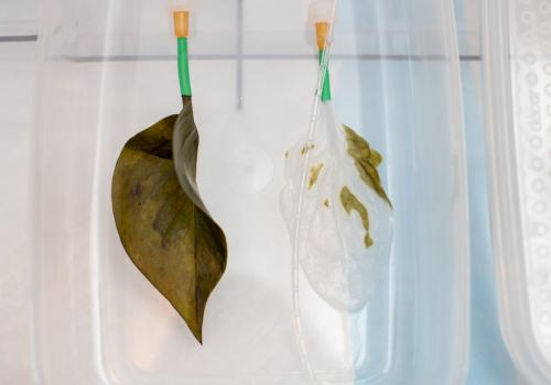A regular spinach leaf  and one that is being decellularized. In the lab, all traces of plant cells, DNA and proteins are removed through a process called decellularization. Different types of cells then are used to repopulate the skeleton of the leaf and