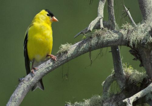 Seven carotenoid compounds that color American Goldfinch are derived from 4 dietary precursors.