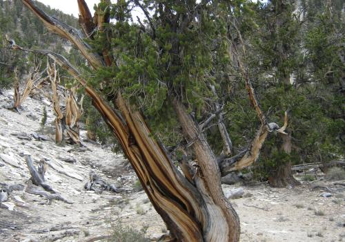 A Bristlecone pine in eastern California's White Mountains.