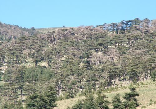 The prolonged drought in northwest Africa from 1999-2002 killed many Atlas cedar trees. This photo is from a site in Algeria where tree-ring researcher Ramzi Touchan and his colleagues took samples to develop a drought history of the region. The trees, a