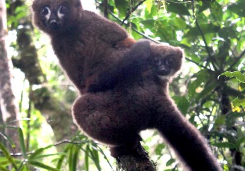 A lemur dad carries his infant through the treetops in Madagascar's Ranomafana National Park.