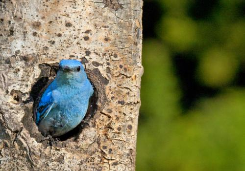 Female bluebirds depend on nesting cavities they find in forested areas recently burned by wildfire.