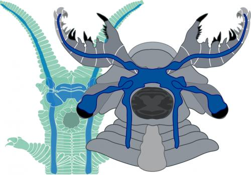 A side-by-side comparison reveals the similarity between the brain of a living onychophoran  and that of the anomalocaridid fossil Lyrarapax unguispinus . Long nerves from the frontal appendages extend to paired ganglia lying in front of the optic nerve a