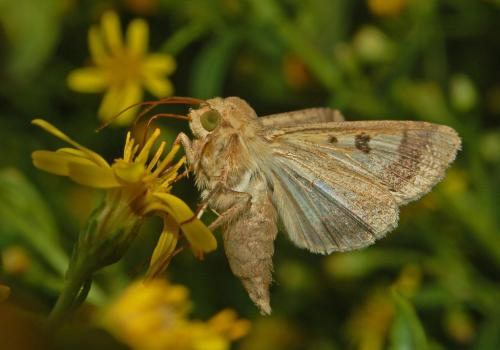 An adult cotton bollworm moth.