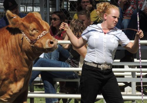 A Cochise County youth brings her steer to the ring at the Cochise County Fair, September 2012.