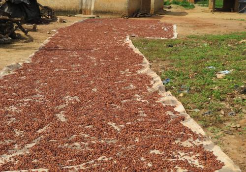Each cocoa pod yields about 40 cocoa beans, which are spread out and dried before being shipped for chocolate production.