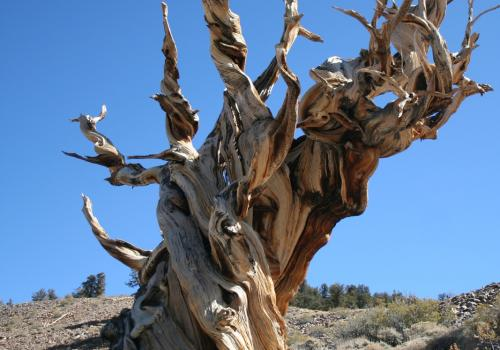 Charlotte Pearson and her colleagues used two different tree-ring chronologies from long-lived trees that were alive at the time of the Thera eruption, including bristlecone pines in California and Nevada.