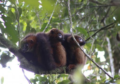 It's common for red-bellied lemur family members to gather together in a close huddle.