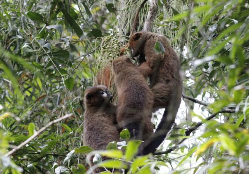 A family of red-bellied lemurs feeds together in the trees.