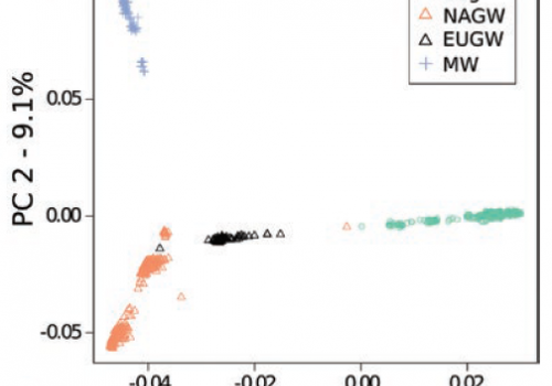 A principle component analysis, which is often used to show genetic distance and relatedness between populations, indicates distinct clusters of domestic dog, North American gray wolf, European gray wolf and Mexican wolf genetic data.