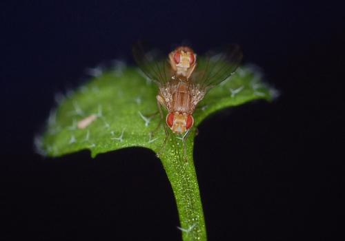 A plant-insect model system: Scaptomyza flava flies mating on Arabidopsis leaf.
