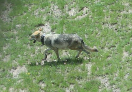 A captive breeding program has brought the Mexican wolf from the brink of extinction to current population estimates of no fewer than 114 Mexican wolves living in the wild. The breeding of such a small population brings with it genetic concerns such as th