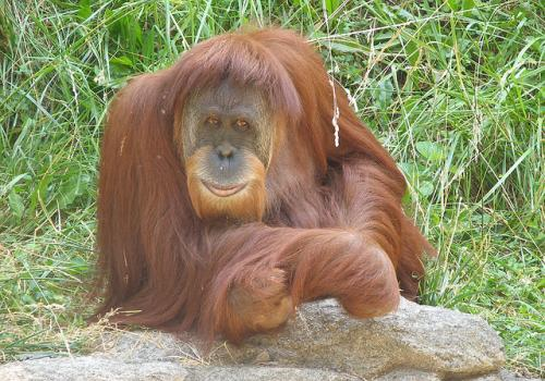 A Sumatran Orangutan photographed at Cincinnati Zoo.