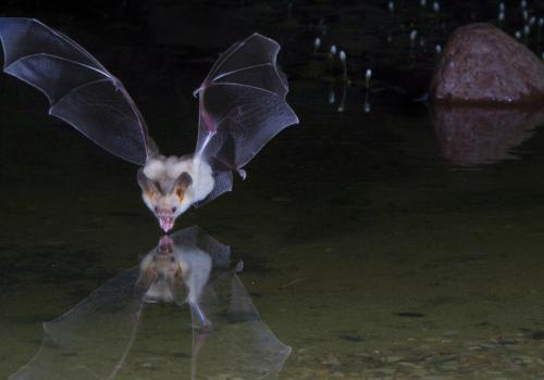 A pallid bat skims the surface of a pond. This photo was taken by Alex Badyaev, professor in the UA's Department of Ecology and Evolutionary Biology. See more of his stunning wildlife photographs at http://www.tenbestphotos.com.