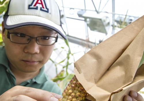 Junpeng Zhan, graduate student in plant sciences, examines seed set on the ear of the maize plant. After pollination, he cuts kernels off the cobs, dissects cells from the seed and analyzes their gene expression networks.