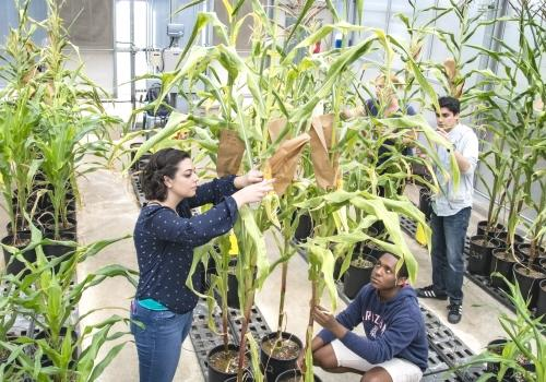 Students inspect maize plants in the 6th Street greenhouse while monitoring the progress of their genetic experiments. From left foreground: Daniela Gutierrez, microbiology, and Pierce Longmire, molecular and cellular biology; background: Tricia Ramsay, b