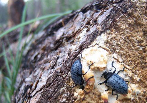 The Sky Islands around Tucson are home to many species of beetles, such as these Pleasing Fungus Beetles, seen here munching on fungus growing on a fallen log on Mount Lemmon.