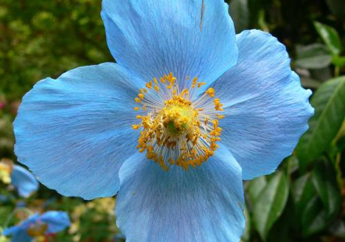 A polyploid cultivar of Meconopsis, the Himalayan