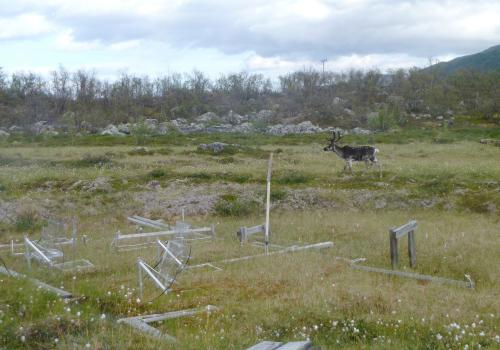 A reindeer trots through the study site, where the researchers have installed automated chambers that measure greenhouse gases emanating from the soil as microbes metabolize nutrients previously locked up in the permafrost soil.