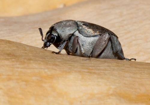 Seed beetles sense the presence of parasitic wasps threatening their brood and make egg stacks to protect them.