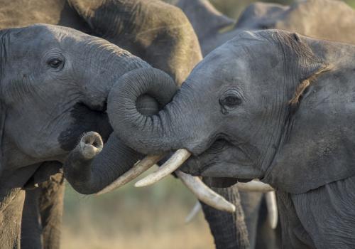 Elephants talking in the Okavango Delta, Botswana, Chitabe Camp