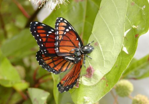 A spider feeding on a yummy viceroy butterfly.