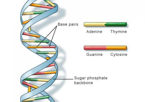 The genetic alphabet: Each color represents one of four different bases, molecules that together make up the genetic material DNA. The sequence with which the bases are arranged along the DNA double helix forms a code that serves as blueprints for protein