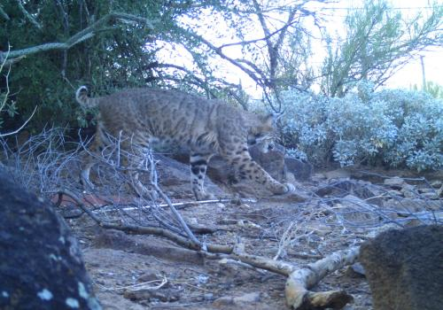 Automated monitoring cameras are more likely than human observers to capture elusive wildlife activity, such as this prowling bobcat.