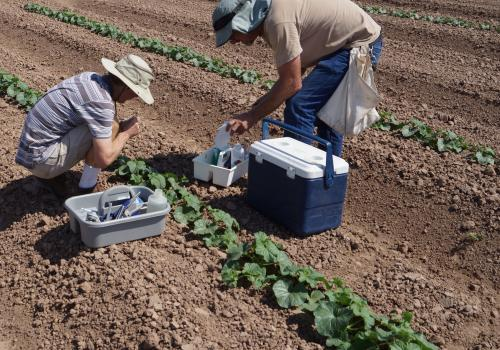 Entomology technicians collecting insecticide residue samples from cantaloupe leaves.