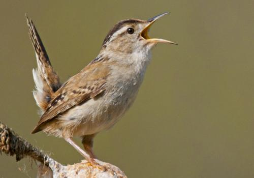 Birds, like this marsh wren, rely heavily on acoustic communication to stake out territories and attract mates.