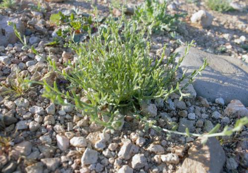 Some winter annuals, such as chuckwalla combseed, form flowers so tiny they are hard to see with the naked eye.