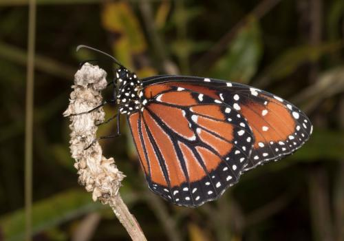 The unpalatable queen butterfly, Danaus glippus.