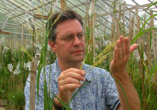 Arizona Genomics Institute director Rod A. Wing is pictured here with rice. Wing, who led UA's effort in sequencing the rice genome in 2005, led UA scientists in sequencing the corn  genome.