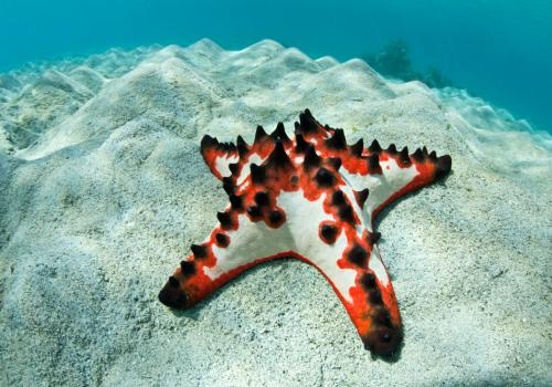 This colorful chocolate chip sea star, along with sea cucumbers and sea urchins, belongs to the Echinoderms, the only phylum with a five-symmetrical body plan.