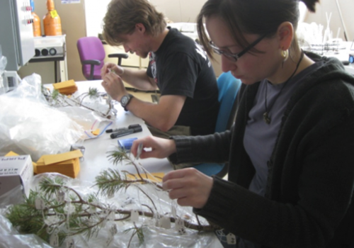 Solving a tree puzzle: Students measure tree parts for the research study.