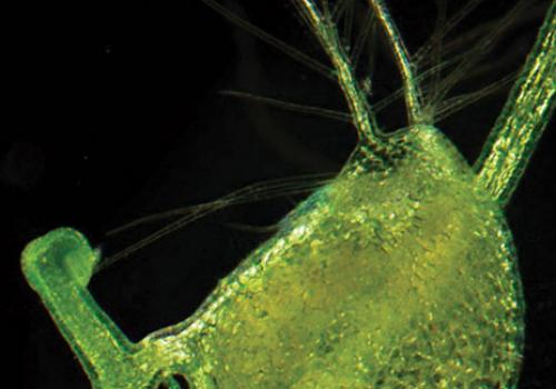 One of the prey-catching bladders as it appears under a light microscopy. When in bloom, the plant's yellow flowers appear above the surface of the ponds and rivers where it grows.