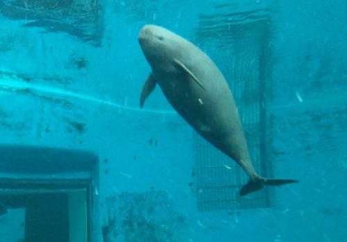 A Yangtze River finless porpoise at the Institute of Hydrobiology in Wuhan, China.