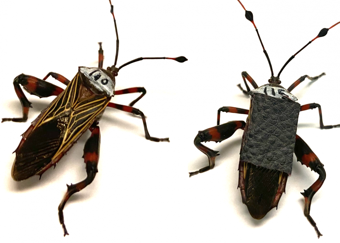 Two giant mesquite bugs, Thasus neocalifornicus
