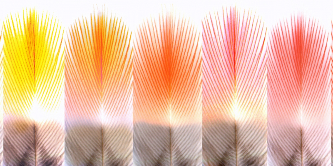 5 orange and red bird feathers in extreme close up