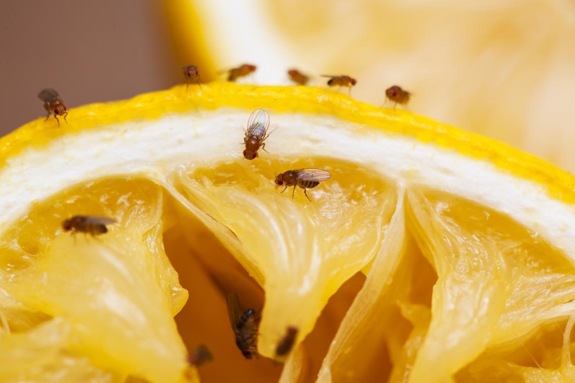 Fruit flies flutter about a sliced lemon wedge.
