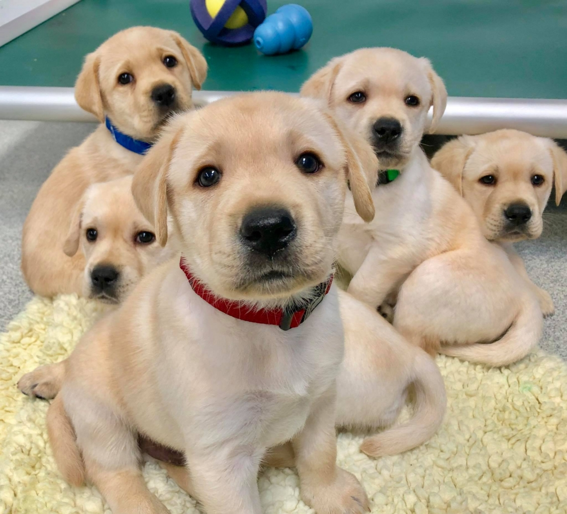 five yellow retriever puppes