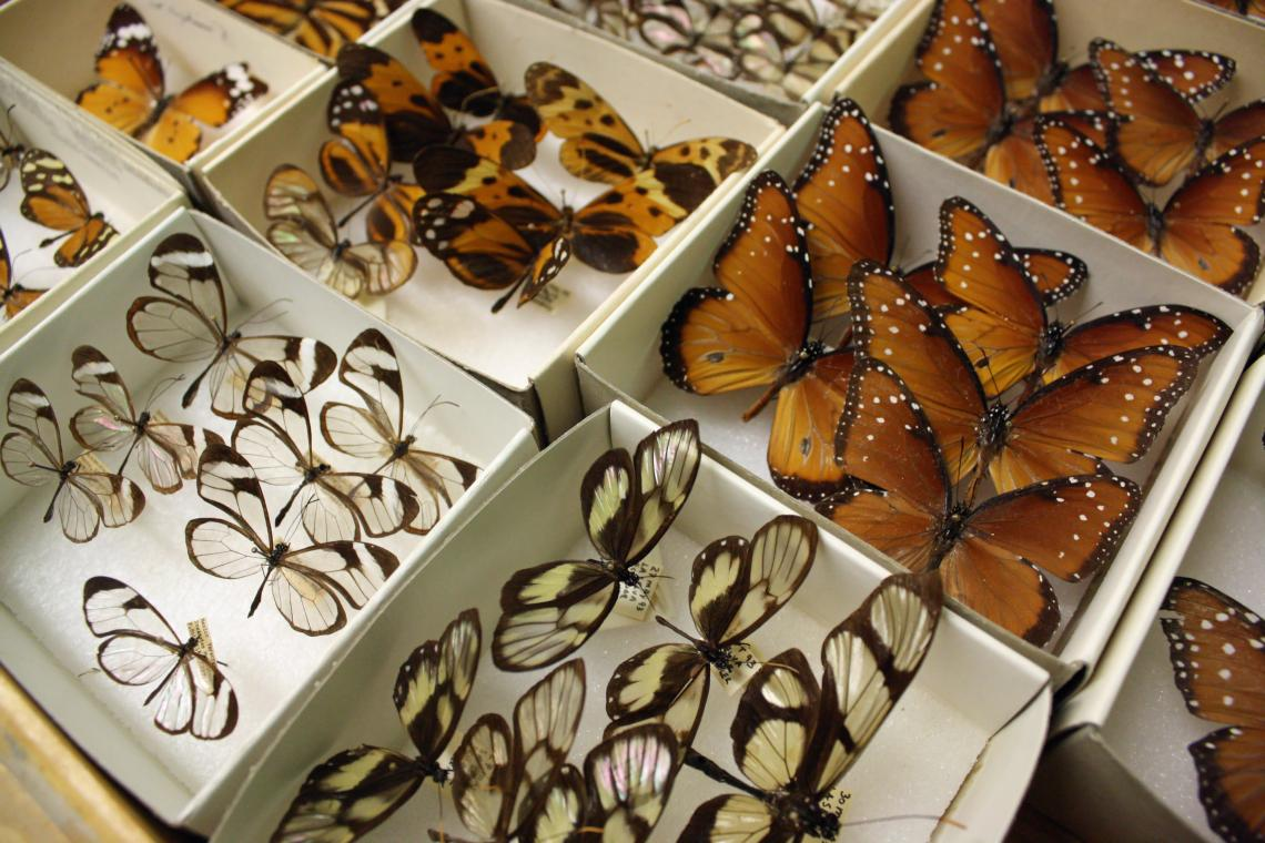 The UA Insect Collection is akin to a library. The 2 million specimens in the collection are irreplaceable, and the collection serves as a chronicle of biodiversity in the region over time.