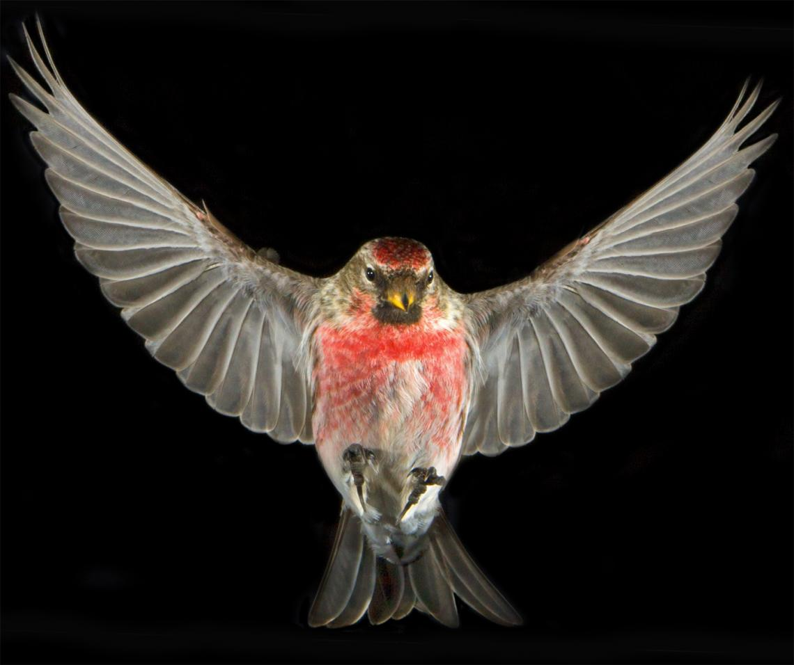 Common Redpoll derives its plumage color from a mixture of 17 carotenoids.