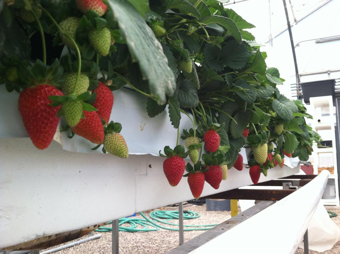 Hydroponically grown strawberries stay clean hanging three feet above the ground in the UA's strawberry project greenhouse.