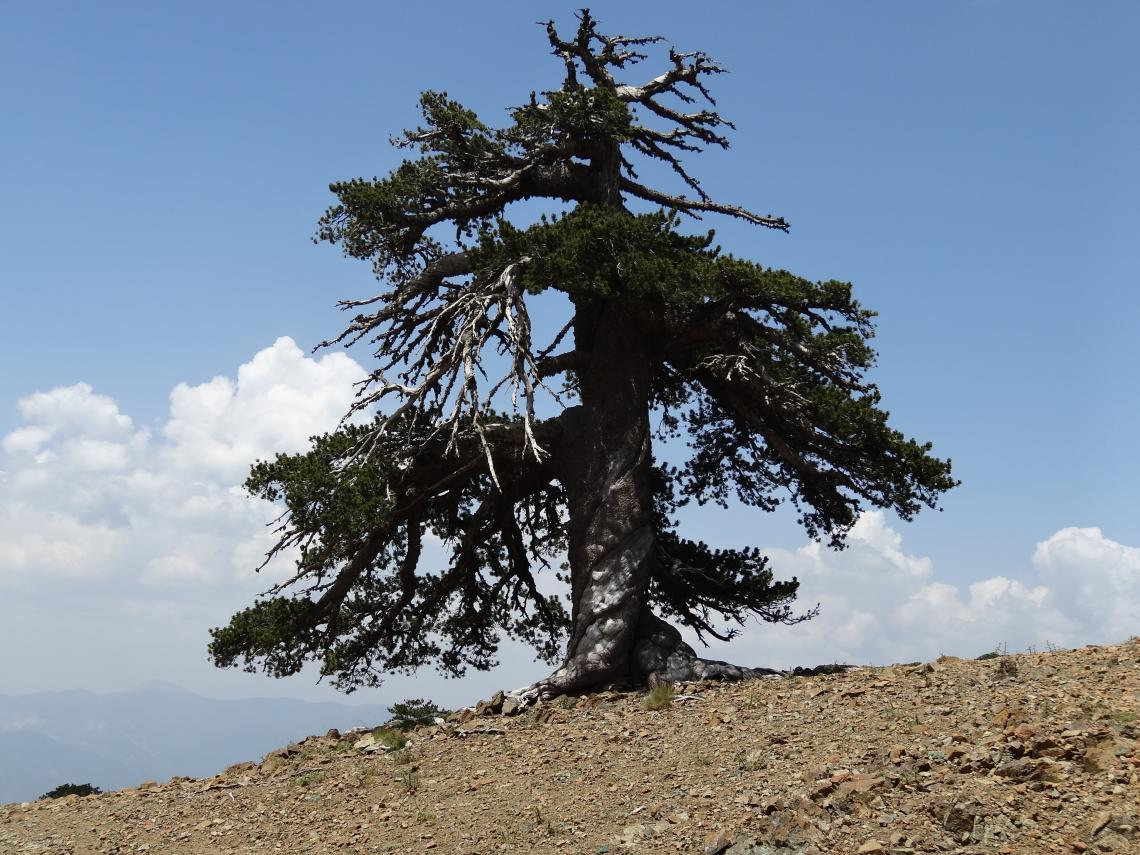 This Bosnian pine, dubbed Adonis, is the oldest known living tree in Europe. The tree is more than 1,075 years old.