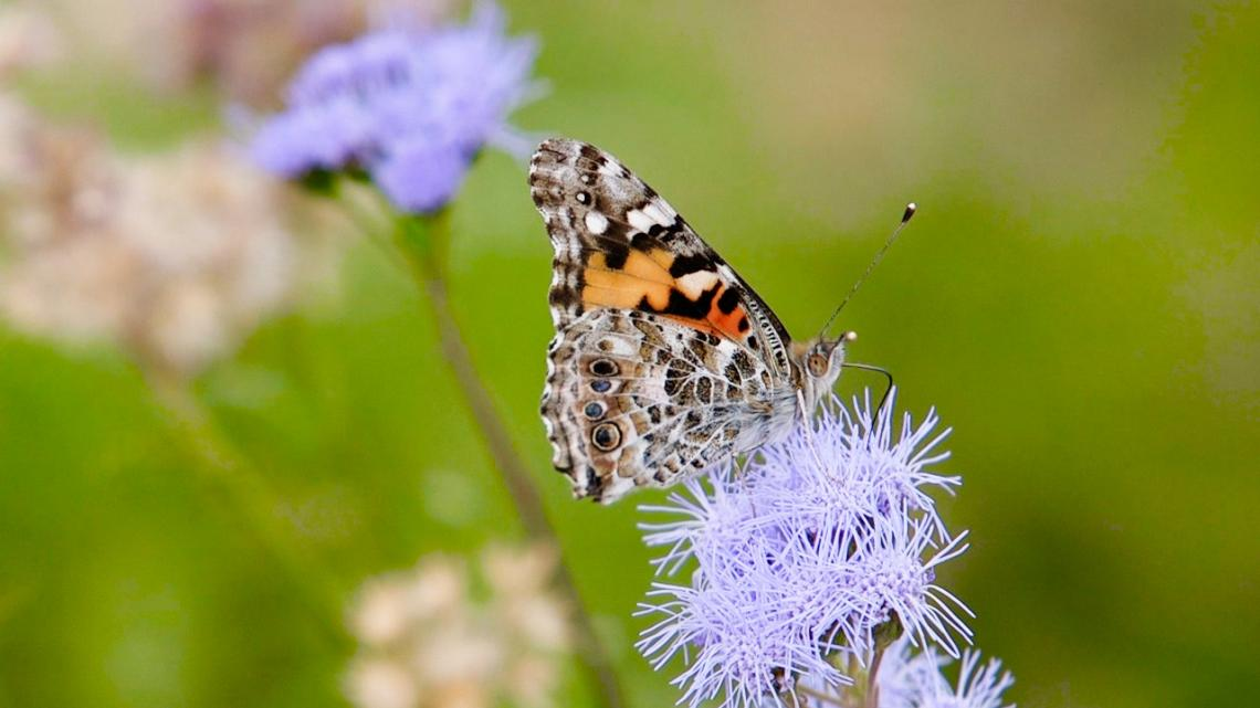 The Painted Lady butterfly spends only the winter in Arizona.
