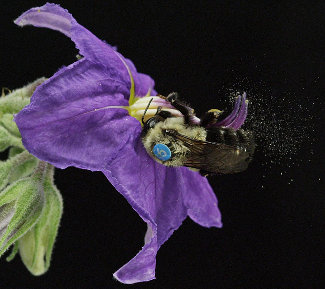 A female Bombus impatiens  sonicating a deadly nightshade blossom in the UA EEB greenhouse