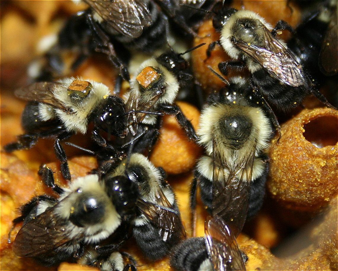 Worker bumblebees, tagged with tiny RFID chips, are seen here caring for the larvae, which develop inside egg-shaped structures; pollen and nectar are kept within the pot-shaped structures.