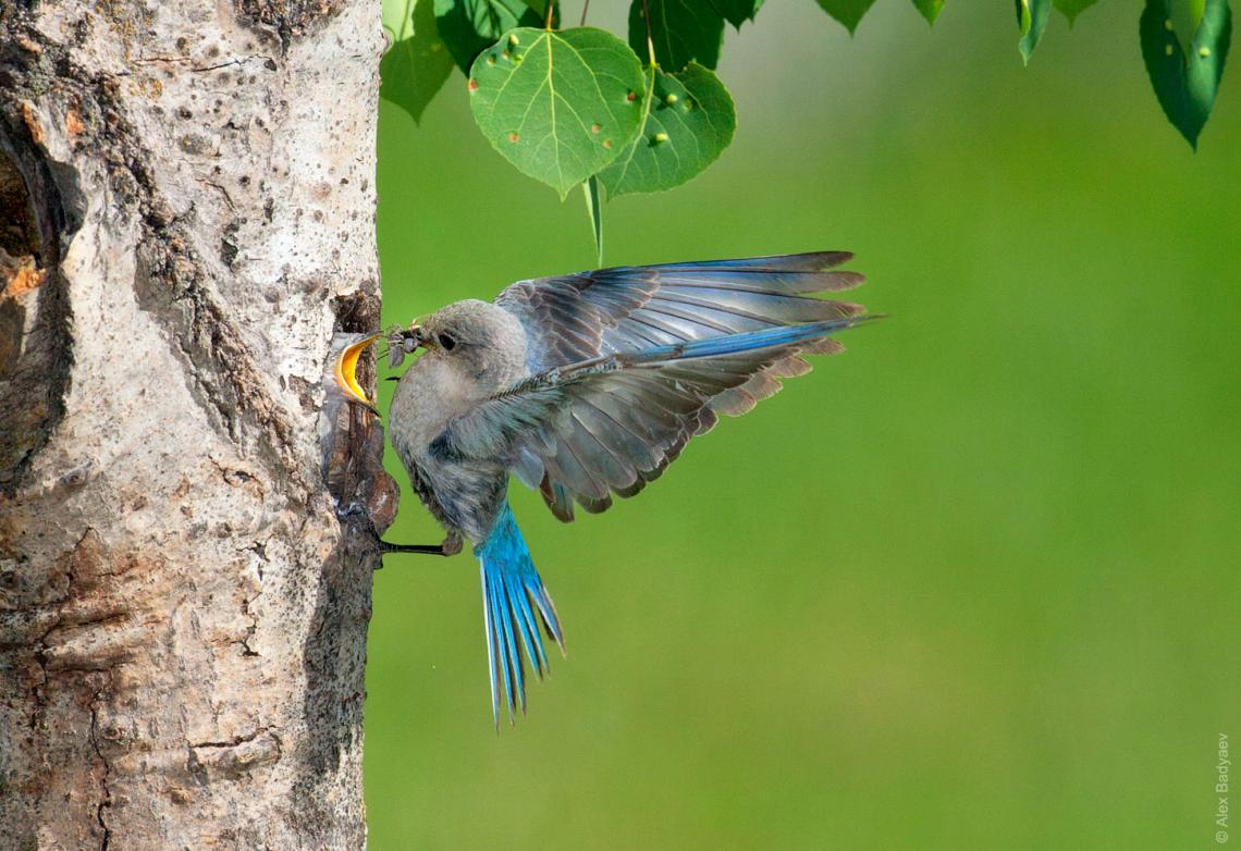 Mountain bluebirds are a highly dispersive species in the northwestern United States.